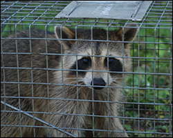 Wildlife trapping in VA